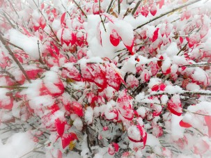 Burning bush in the snow