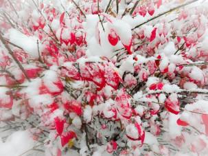 Burning bush in the snow